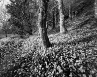 Wild Garlic Woodlands