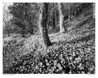 1100 Wild Garlic Woodlands Poster